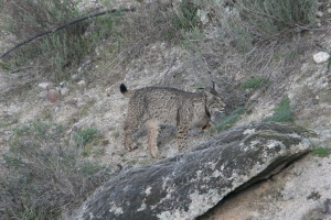 Lince02
