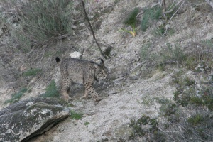 Lince03