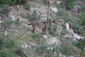 Lince04