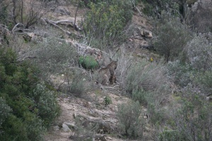 Lince05