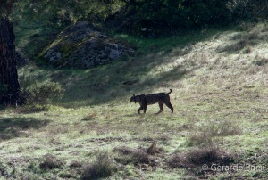 Lince07