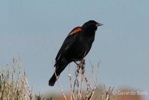 us_ant_Red-vinged blackbird