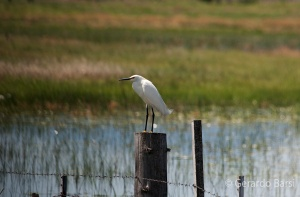 us_br_lk_Snowy egret