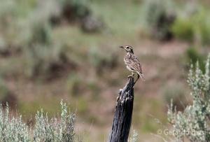 us_br_lk_western meadowlark