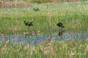 us_br_lk_White faced ibis