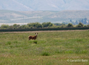 us_br_lk_White-tailed deer