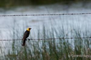 us_br_lk_Yellow-headed blackbird