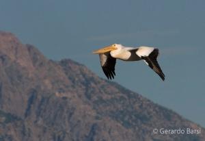 us_Br_rv_American white pelican1