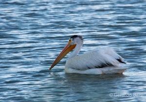 us_Br_rv_American white pelican2