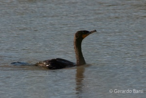 us_Br_rv_Double-crested cormorant