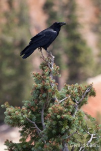us_bryce_Ameriocan crow