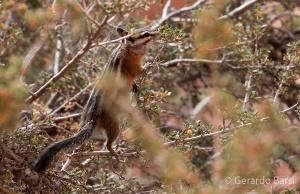 us_bryce_Colorado chipmunk
