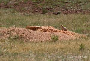 us_bryce_Utah prairie dog