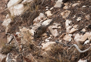 us_can_Cliff chipmunk