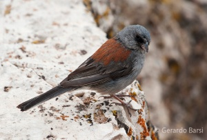 us_can_Dark-eyed junco caniceps
