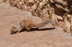 us_can_Rock squirrel