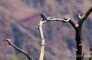 us_can_Violet-green swallow