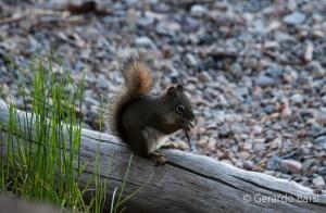 us_gt_Arizona gray squirrel