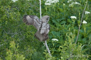 us_gt_Great grey owl1