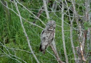 us_gt_Great grey owl2
