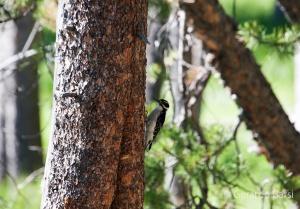 us_gt_Hairy woodpecker
