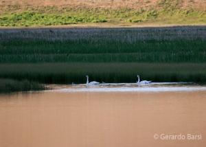 us_gt_Trumpeter swan