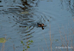 us_gt_Wood duck