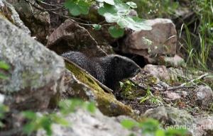 us_gt_Yellow-bellied marmot1