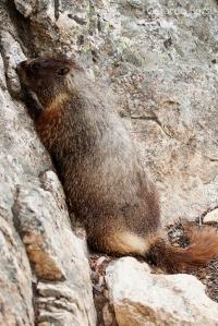 us_gt_Yellow-bellied marmot2