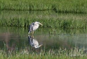 us_yel_Hay_Blue heron