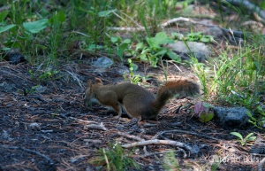 us_yel_Hay_Red squirrel