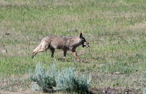 us_yel_lam_Coyote1