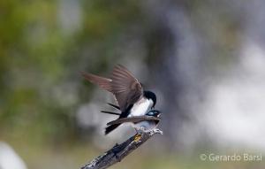 us_yel_Lk_Tree swallow