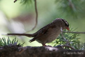 us_yel_Lk_White-crowned sparrow