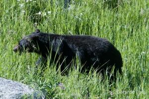 us_yel_mam_Black bear