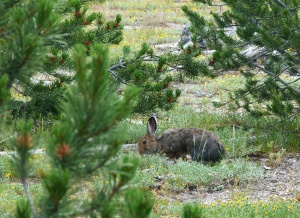 us_yel_no_Snowshoe hare