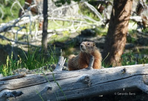 us_yel_old_yellow marmot