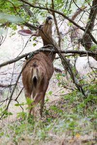 us_zion_Mule deer