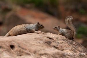us_zion_Rock squirrel