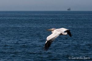 010-Swakopmund-Great white pelican