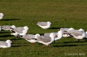 010-Swakopmund-Hartlaubs gull
