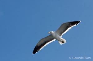 010-Swakopmund-Kelps gull