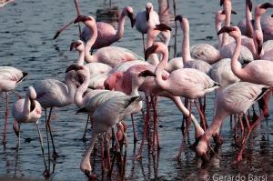 010-Swakopmund-Lesser flamingo
