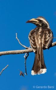 04-Okaukuejo-African grey hornbill