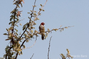 04-Okaukuejo-Red-headed finch