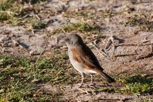 04-Okaukuejo-Southern grey-headed sparrow