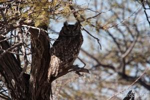 04-Okaukuejo-Spotted eagle-owl