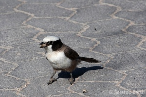 04-Okaukuejo-white-crowned shrike
