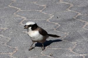 04-Okaukuejo-white-crowned shrike