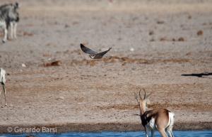 05-Olifant-Lanner falcon